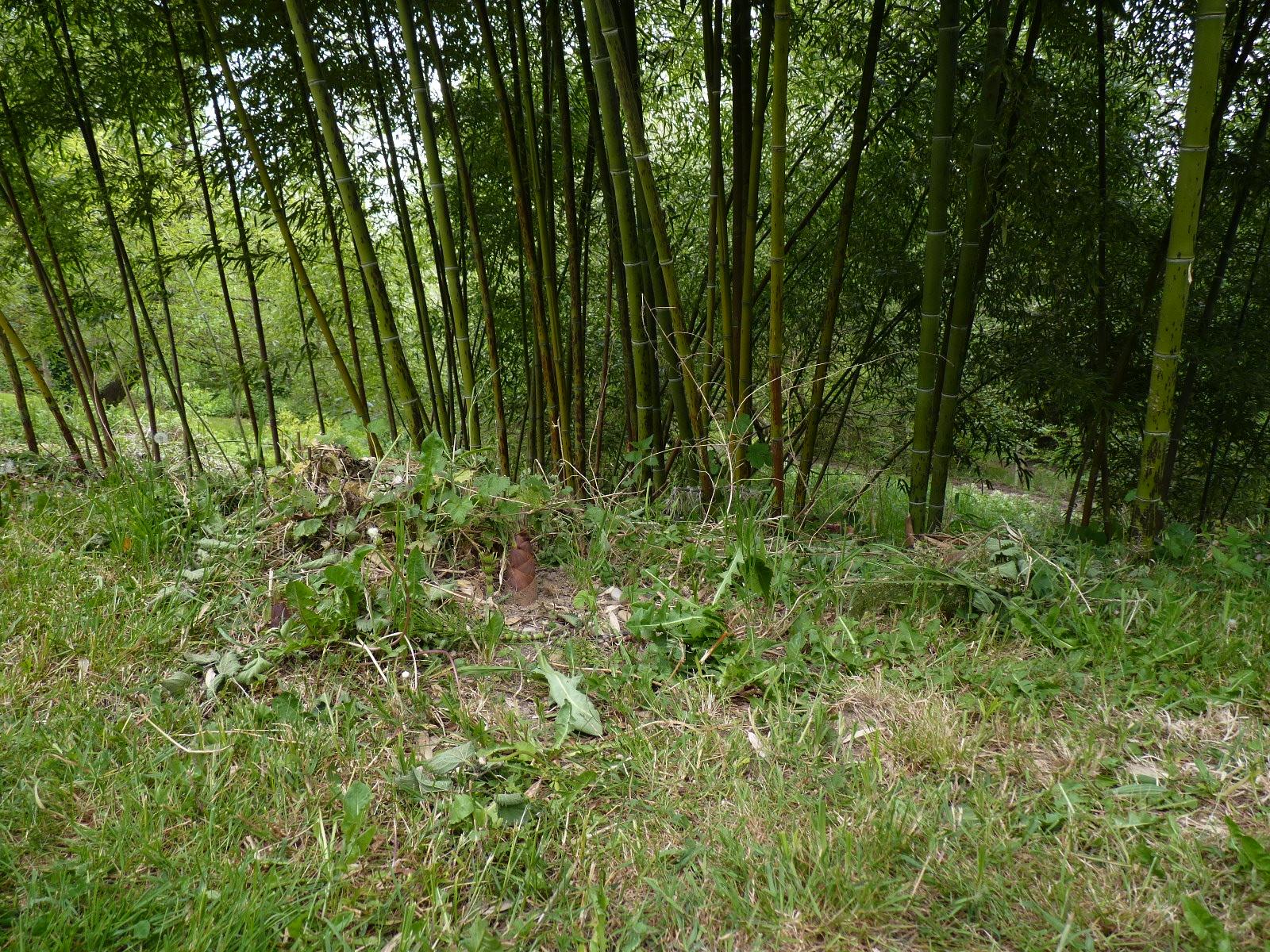 Faire pousser bambou bambou en pot terrasse le bambou - Faire pousser du bambou ...