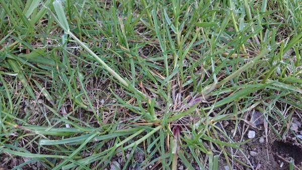 Jeune gazon envahi par mauvaise herbe que faire 86 - Plante qui fait dormir ...